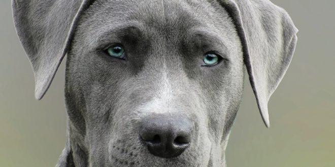 blue dog syndrom