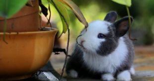 Diabetes bei Kaninchen